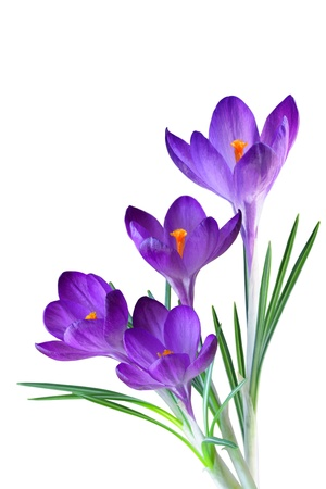 krokus: Crocus bloem in de lente geïsoleerd op wit