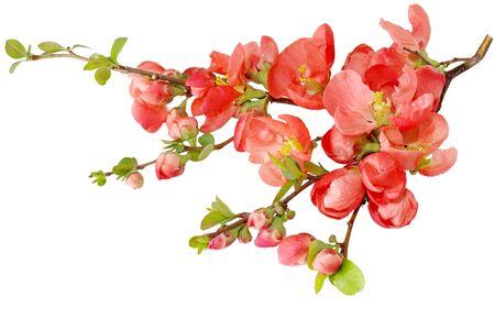 sakura flowers: Orange cherry blossom on branch isolated over white