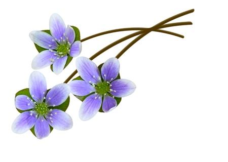 liverwort: Hepatica liverleaf liverwort genus of herbaceous perennials in the buttercup family Stock Photo