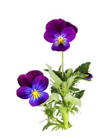 白で隔離される紫のパンジー花植物 写真素材