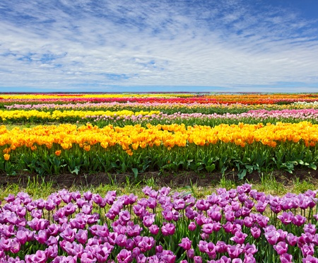 campo de flores: Fila horizontal de tulipanes en el campo en el tiempo de primavera