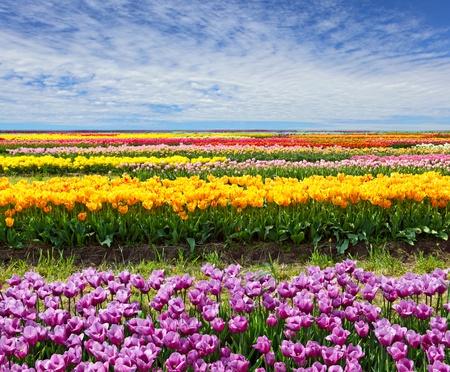 Horizontale rij van tulpen op het gebied in de de lentetijd Stockfoto
