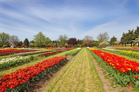 Tulip flowers on the field in the spring time Stock Photo - 8735678