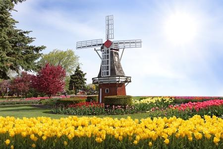 windmills: Molino de viento en el campo de tulipanes en la primavera Foto de archivo
