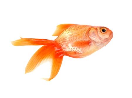 Gouden vis geà ¯ soleerd op witte achtergrond Stockfoto