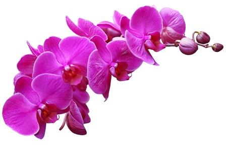 白で隔離される紫の蘭の花のクローズ アップ