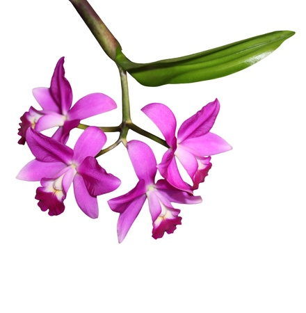 Purple orchid flower on branch isolated on white