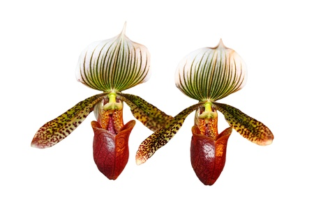 potent: Two Paphiopedilum Erika Potent orchid flowers  Stock Photo