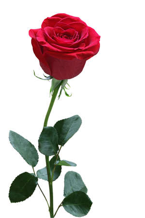 Single red rose with leaves isolated on white Stock Photo