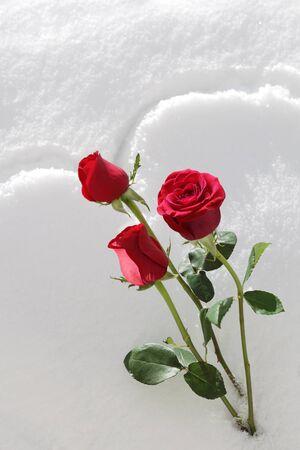 Fresh red rose on white snow photo