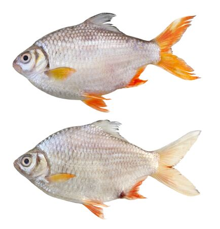 Barbonymus schwanenfeldii tinfoil barb fish