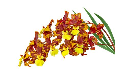 Oncidium Macmex Orchid flower plant isolated on white