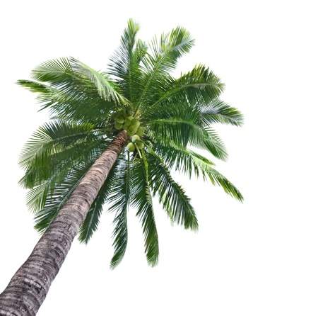 coconut trees: Palm coconut tree isolated on white background