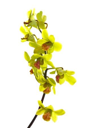 Green Oncidium Orchid twig isolated on white photo