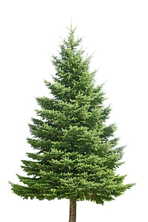 Fresh pine tree isolated on white background
