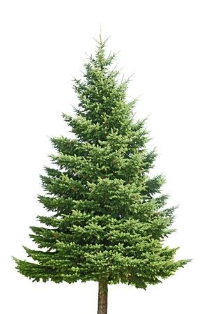 spar: Verse pine tree geïsoleerd op witte achtergrond Stockfoto