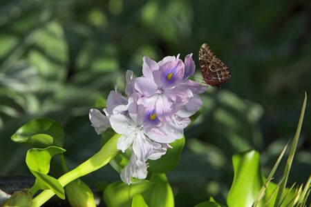 water hyacinth: Water Hyacinth Flower in the pond