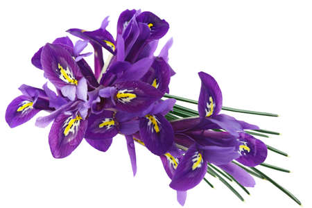 Purple Dwarf iris (Iris reticulata) flowers and Leaves Stock Photo - 9418811