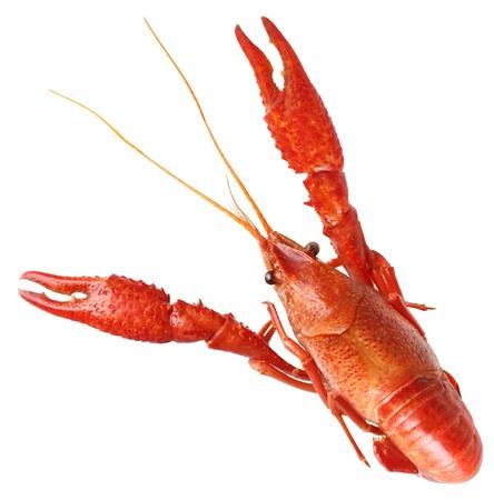 Single big red boiled crawfish