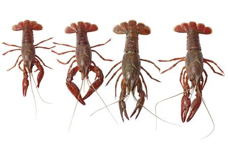 Set of four live crawfishes isolated on white Stock Photo - 9488205