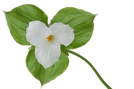 trillium: Large-flowered Trillium grandiflorum wildflower isolated on white Stock Photo