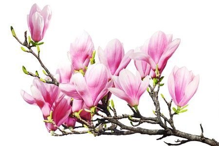 Magnolia flower branch isolated on white Stock Photo - 9569270