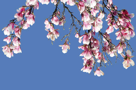 Magnolia blossom on branch against clear blue sky photo