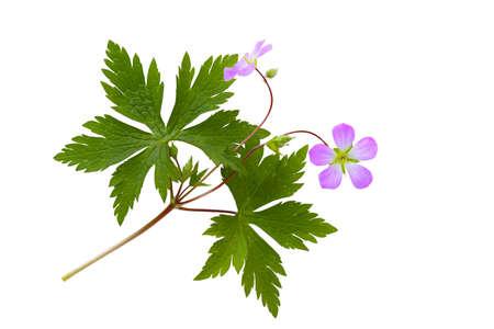Purple Wild Geranium (Spotted Geranium) Geranium maculatum
