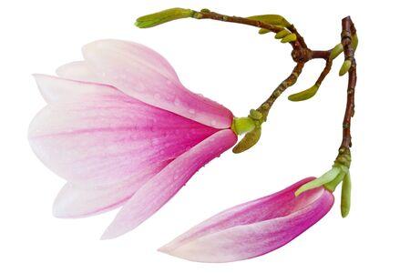 magnolia soulangeana: Saucer Magnolia soulangeana flowers isolated on white