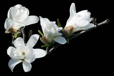 黒の背景に分離された白モクレンの花 写真素材