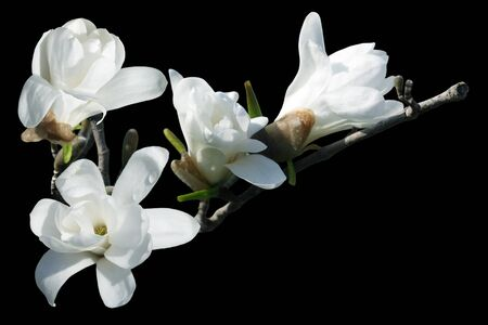 White magnolia blossom isolated over black background photo
