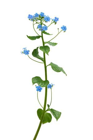not to forget: Forget me not flower plant isolated on white Stock Photo