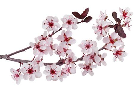 cherry branch: Purple leaf sand cherry prunus cistene branch Stock Photo