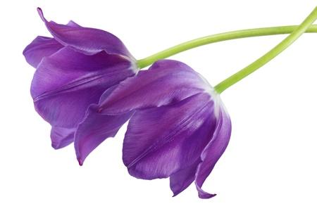白で隔離される 2 つの紫色のチューリップの花 写真素材