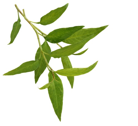 Hot mint, Vietnamese mint isolated on white Stock Photo