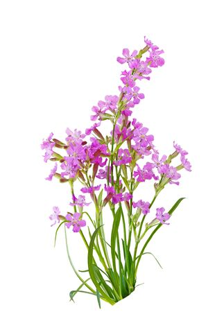 Pink Lychnis viscaria Sticky Catchfly flowers isolated on white Stock fotó