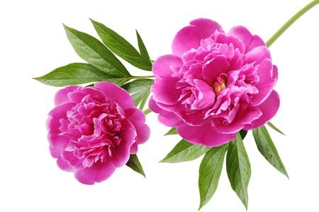 핑크 작약 Paeonia의 싸리 꽃은 흰색에 고립