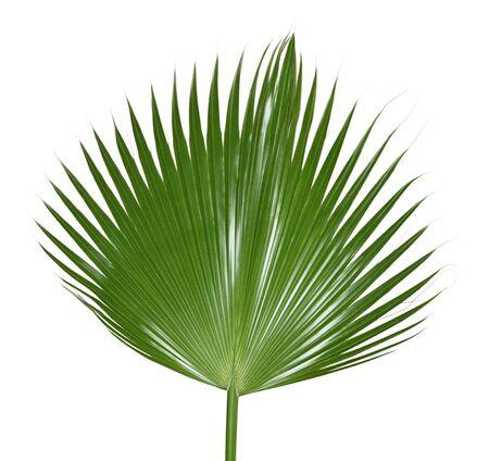 Einzelne Palm Leaf isolated on white