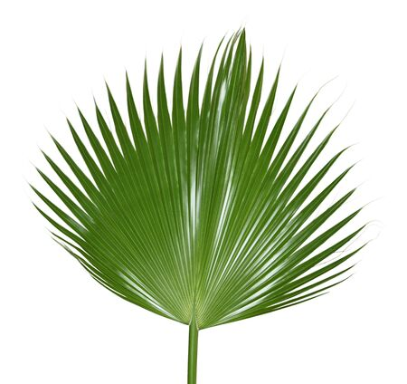 foliage frond: Single palm leaf isolated on white