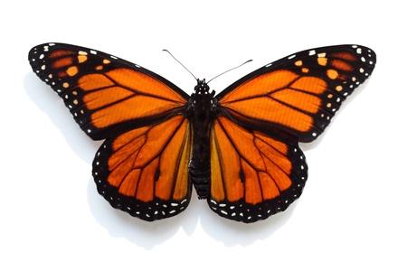 mariposas amarillas: Mariposa Monarca aisladas sobre fondo blanco