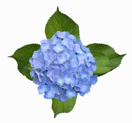 hydrangea: Blue Hortensia Hydrangea Homigo flower isolated on white