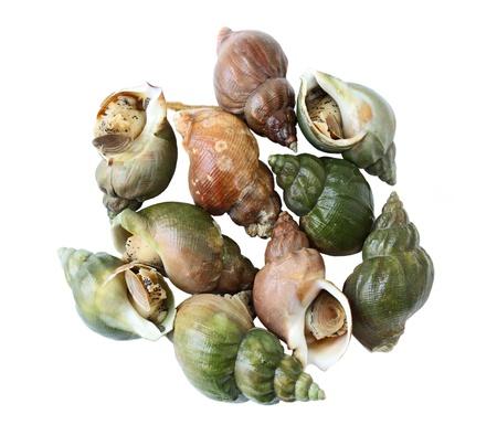 regionally: Babylonia areolata sweet snails isolated on white Stock Photo