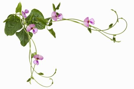 long bean: Swirl Vigna sesquipedalis Fruwirth Vigna sinensis  Dolichos sesquipedalis long stick bean