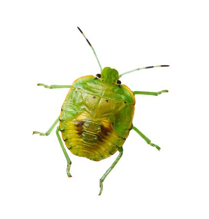 shield bug: southern green stink bug isolated on white
