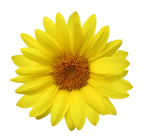 Single fresh sunflower flower isolated on white