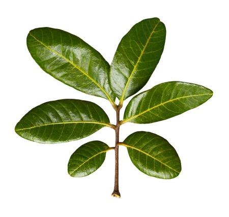 longan: Dimocarpus longan Leaves isolated on white Stock Photo
