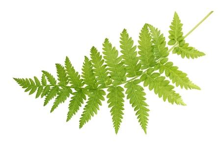 신선한 고사리 잎 흰색 배경에 고립 스톡 콘텐츠