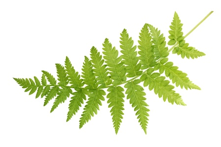 Fresh fern leaf isolated on white background