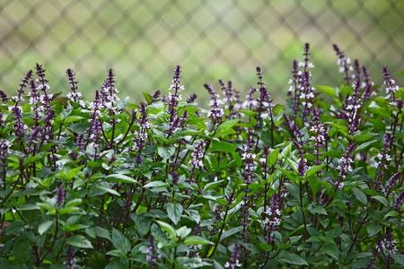 庭で新鮮なバジルの花植物