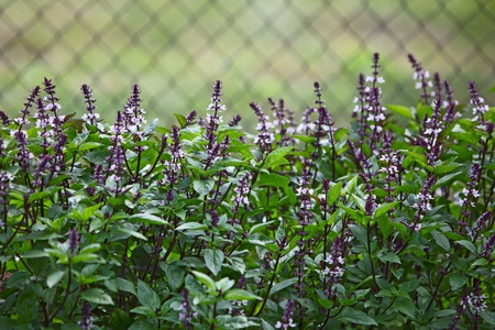 basil leaf: Fresh basil flower plant  in the garden